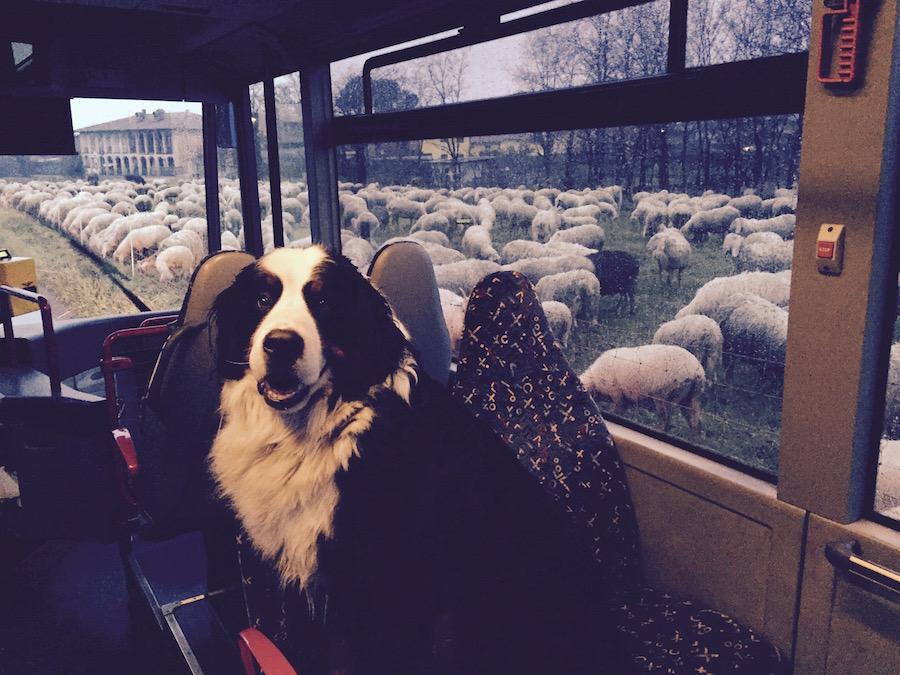 Perdro, il cane di Massimo Locatelli, che sorveglia le pecore dall'autobus.